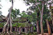Giant Ficus Angkor Wat